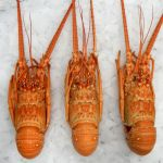Lobsters Brazil