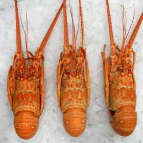 Lobsters Brazil